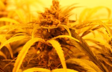 cannabis-in-canada-growing-hydroponics-indoors-feature