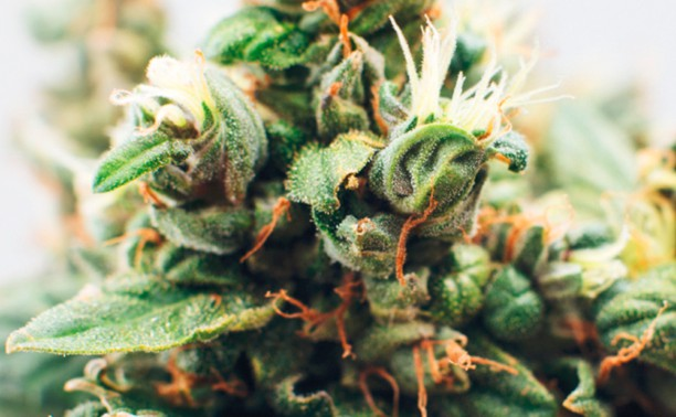cannabis-nl-hp-image-feature